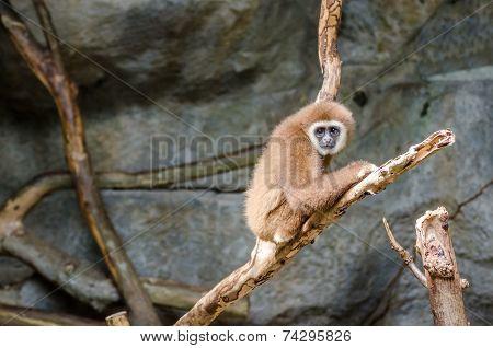 Gibbon Climbing The Tree