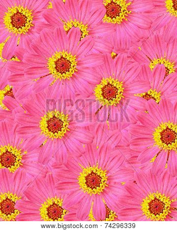 Pink Zinnia Flower, Background Of The Flowers
