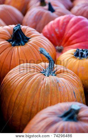 Focus On Pumpkin In A Pumpkin Patch