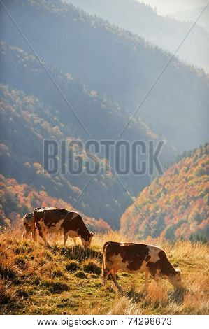 Cows Grazing In Autumn Scenery