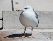 picture of begging  - Large sea gull begging for food from passers-by