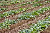 pic of herbacious  - Neatly planted rows of vegetables - JPG