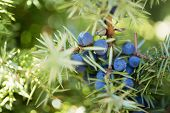 stock photo of juniper-tree  - Juniper branch with berries - JPG
