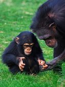 stock photo of chimp  - Chimpanzee holding careful the hand of her child - JPG
