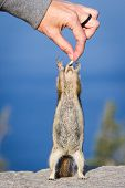 stock photo of chipmunks  - small chipmunk standing on his hind legs reaching for a peanut - JPG