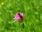 image of red clover  - Bee collect pollen on red clover flower on green grass background - JPG