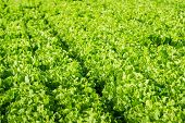 pic of endive  - Closeup of Endive or Cichorium endivia plants ready for harvesting.