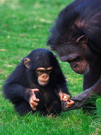 picture of chimp  - Chimpanzee holding careful the hand of her child - JPG