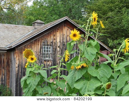 Sunflowers/Building