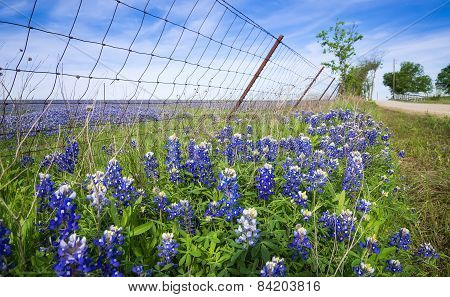 Bluebonnets Along Country Road In Texas Spring