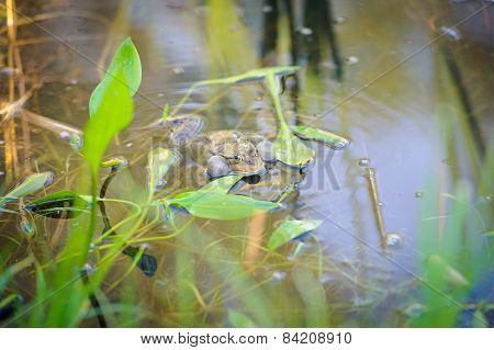 green edible frog also known as the Common Water Frog sits on water