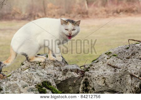 White Domestic Cat Is Standing On The Rocks In The Woods Scared And Mewing