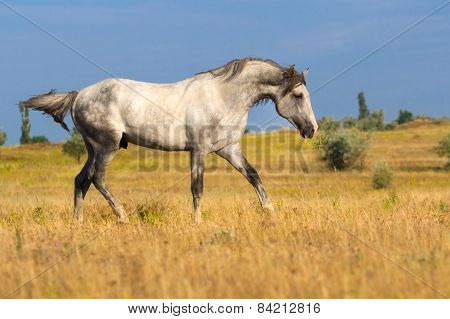 Grey horse in the meadow