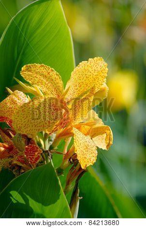 Sunlit Canna Flowers