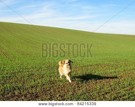 Golden Retriever On A Green Field