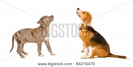 Puppy pit bull and beagle dog