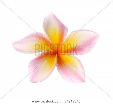 Flowers Frangipani (plumeria) Isolated On White Background