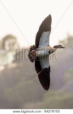 Egyptian Goose In Mid Flight