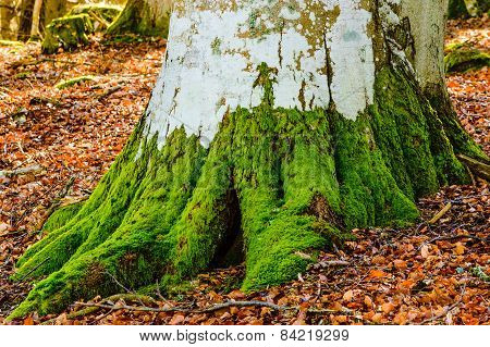 Moss On Beech Tree
