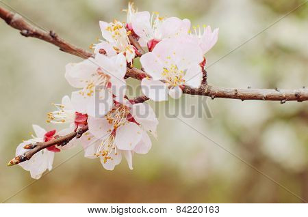 Beautiful cherry blossom. Natural background.