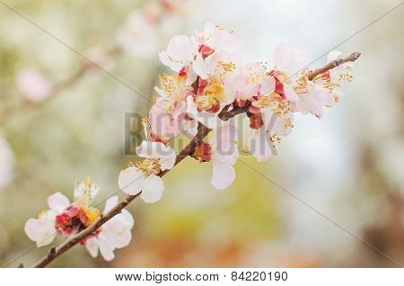 Cherry blossom. Natural background.