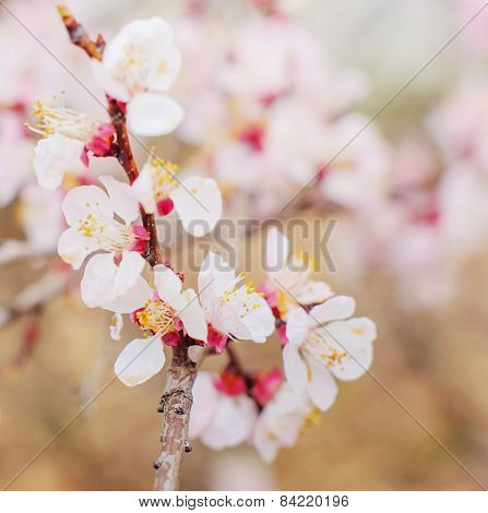 Spring cherry blossom. Natural background.