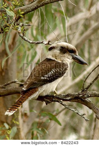 Australian Kookaburra bird in tree