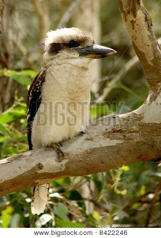 Australian icon kookaburra sitting in tree