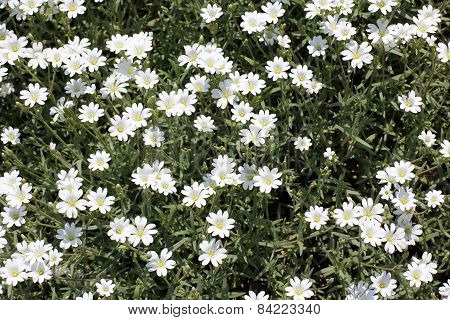 a lot of white flowers