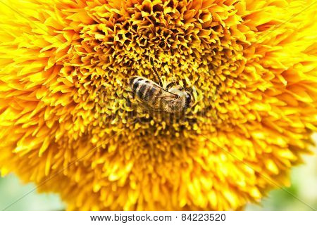 Pollination By Bees Big Yellow Flower