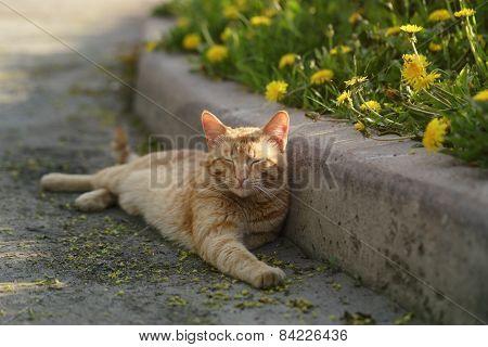 red homeless cat resting on sidewalk