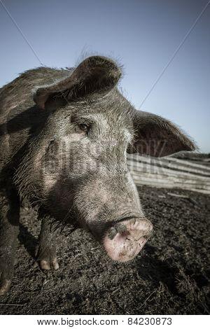 Pig Snout Close Up