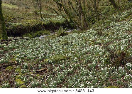 Snowdrop Valley
