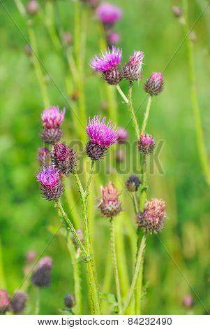 Cirsium Arvense Flowers