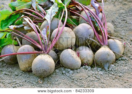 Harvested Grown Beetroot