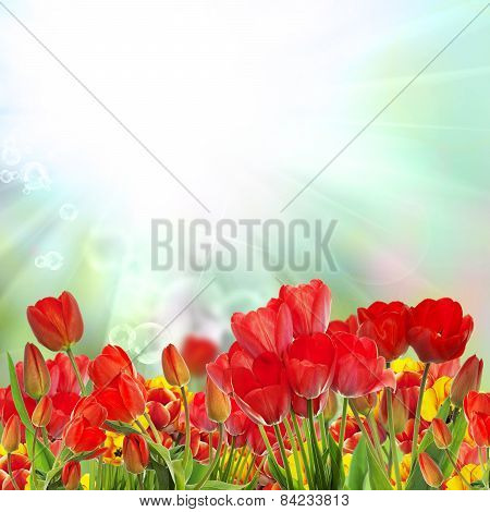 Beautiful Garden Fresh Colorful Tulips.springtime.
