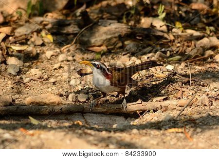 White-browed Scimitar-babbler (pomatorhinus Schisticeps)