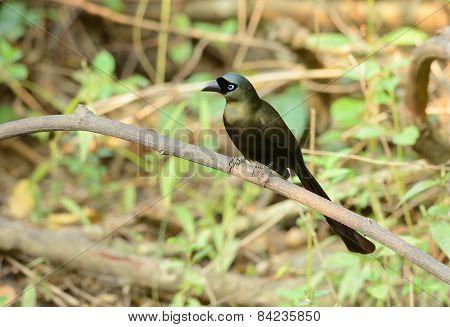 Racket-tailed Treepie (crypsirina Temia)