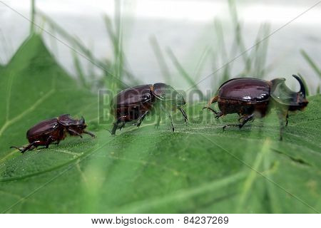 European Rhinoceros Beetle Group
