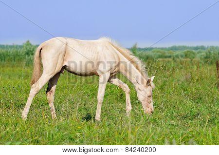 Perlino Akhal-teke Foal Grazing In Field