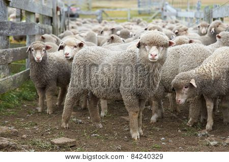 Sheep in a Corral
