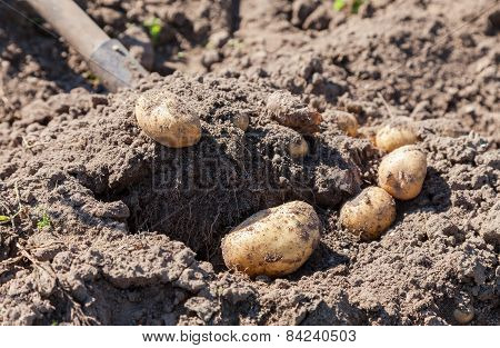 Digging Up Fresh Home Grown Potatoes Close Up