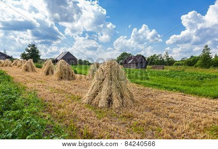 Sheaves Of Wheat Piled In Stacks On The Field On A Sunny Day
