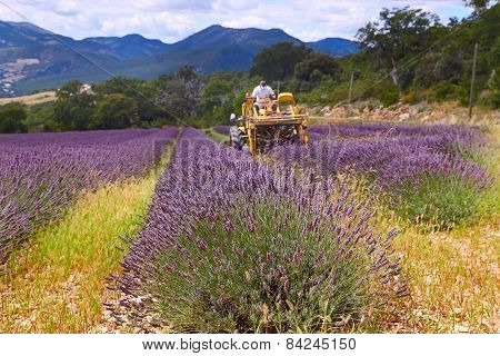 Lavender Harvest, France