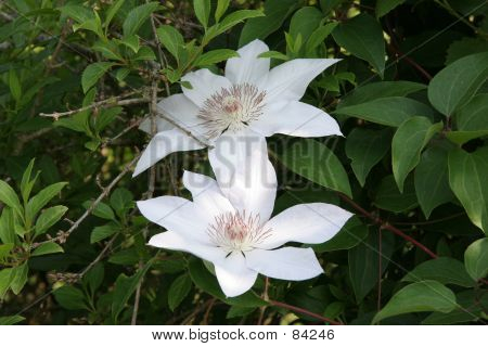 Bright White Clematis