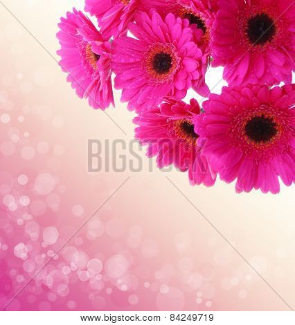 Pink Gerbera Flowers Isolated .