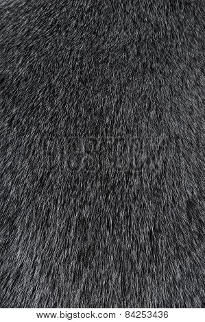 Texture Of Smooth Animal Gray Hair