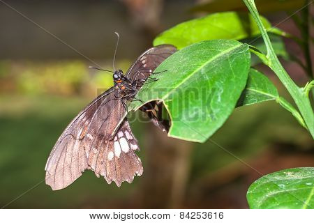 Interesting Amazonian Butterfly, Yasuni National Park