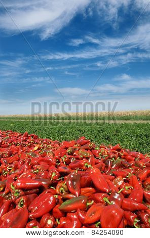 Agriculture, Red Paprika In Field