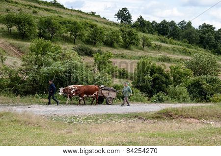 Cows pulling a cart with wood